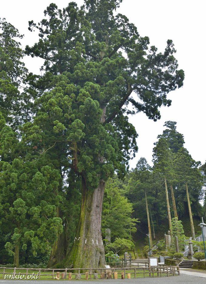 千葉県最大の巨木・清澄の大スギ