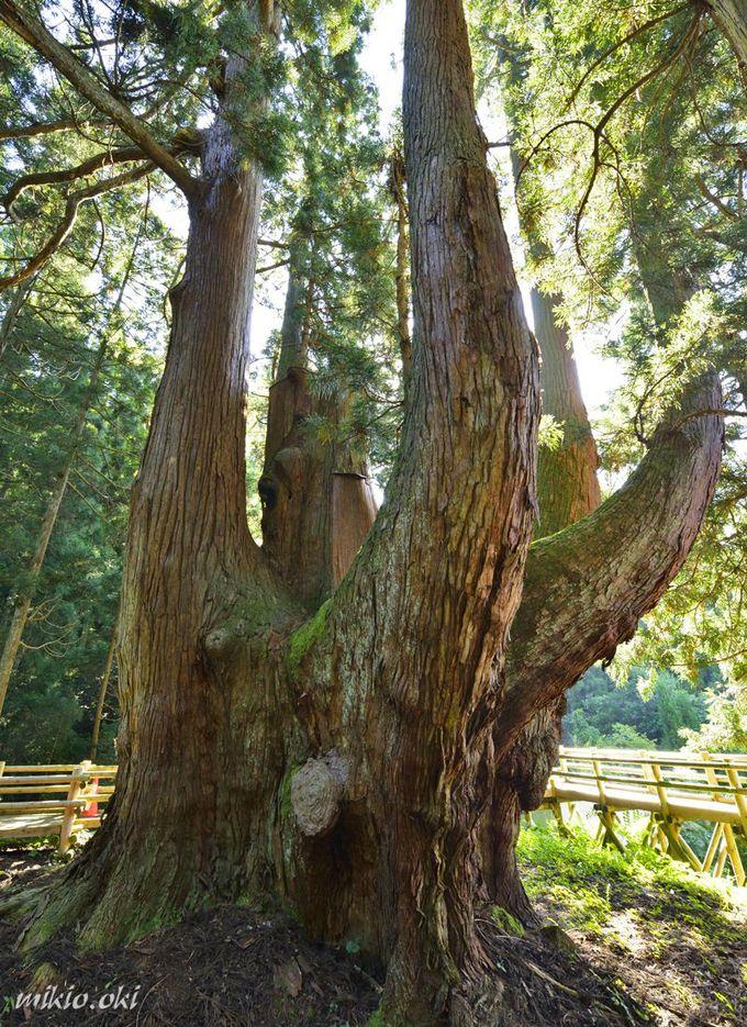 将軍杉は日本最大級の杉の巨木