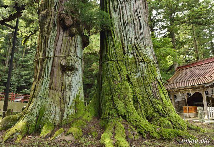 塩原温泉郷に立つ御神木・逆杉