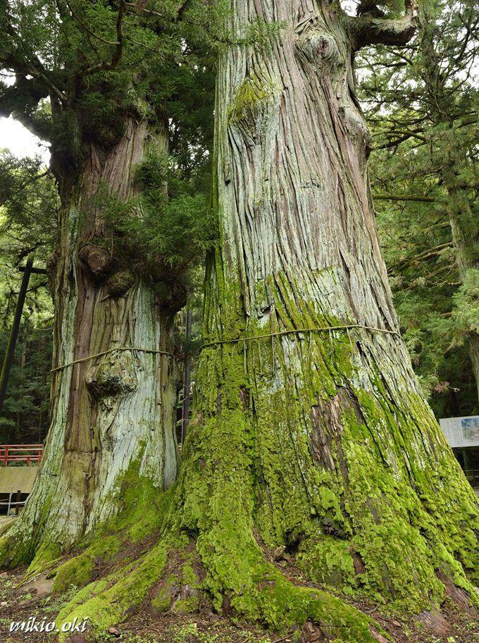 逆杉の伝承