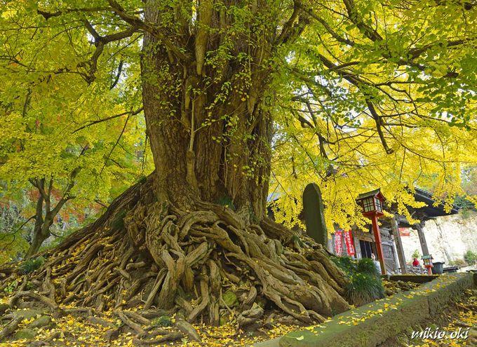 正法寺の大イチョウ〜迫力の根元と境内の見所