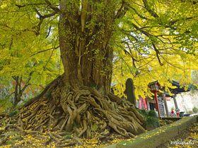 晩秋を飾る黄葉の名所・正法寺と高山不動〜御神木は埼玉県で最大のイチョウの2トップ