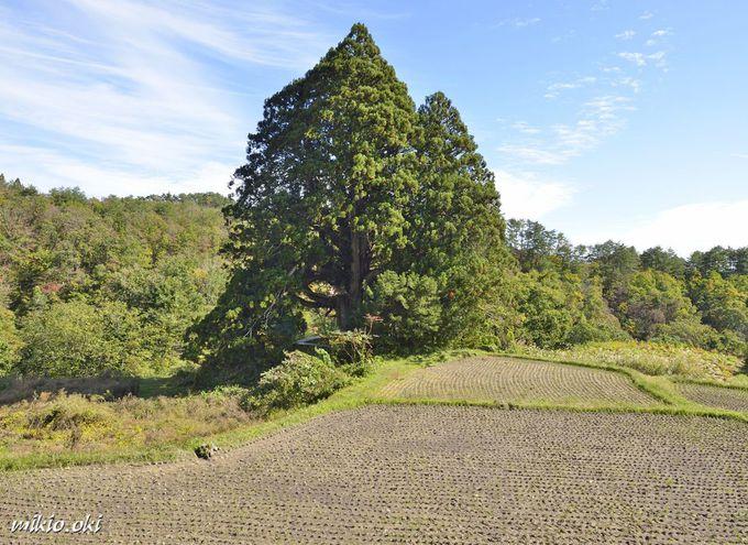 松保の大杉は山形県内で最大級の杉の巨木