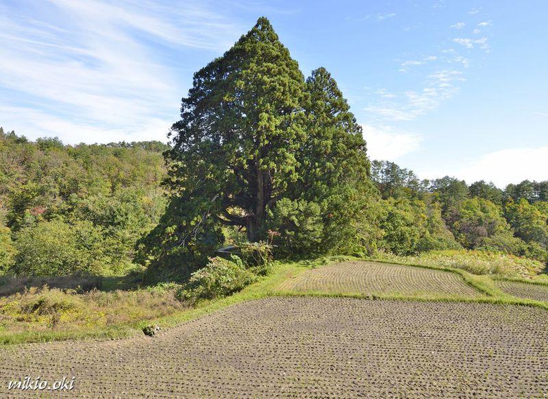 山形県で最大級の杉の巨木・松保の大杉〜一樹で森を成す里山の御神木