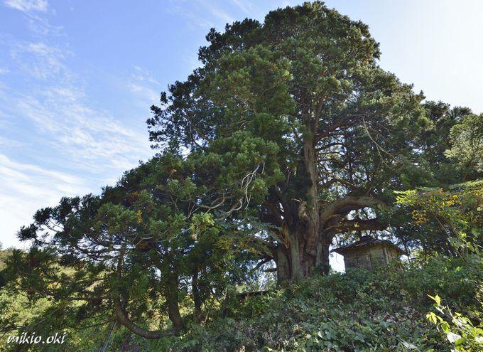 松保の大杉の個性的な樹形の秘密