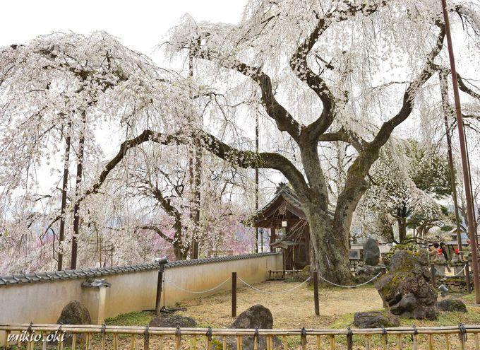 清雲寺〜境内を代表する2本のしだれ桜