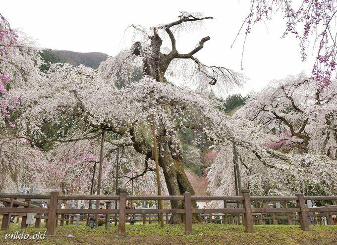 清雲寺〜埼玉県で屈指の桜の名所