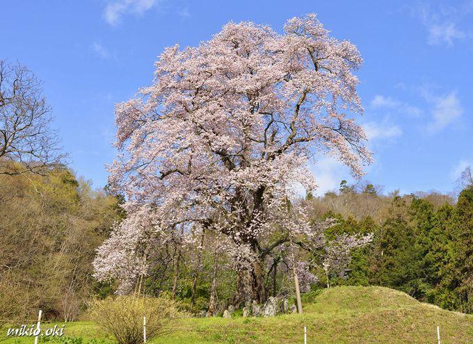 眺める位置で大きく印象の変わる一本桜