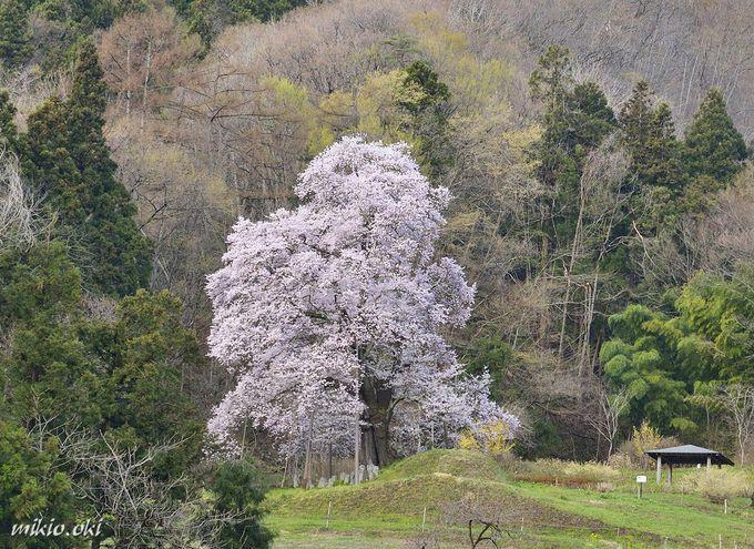 秋山の駒ザクラは里山の美しき一本桜