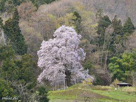 福島県の銘桜・秋山の駒ザクラ〜里山の貴婦人たる美しき一本桜