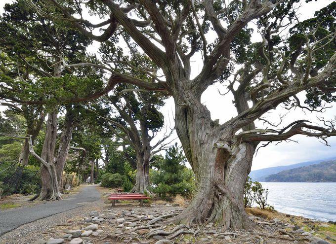 大瀬崎のビャクシン樹林で際立つ3本の巨木