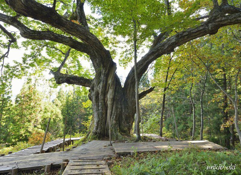 日本一の大きな栗の木の下で〜山形・大井沢の大栗