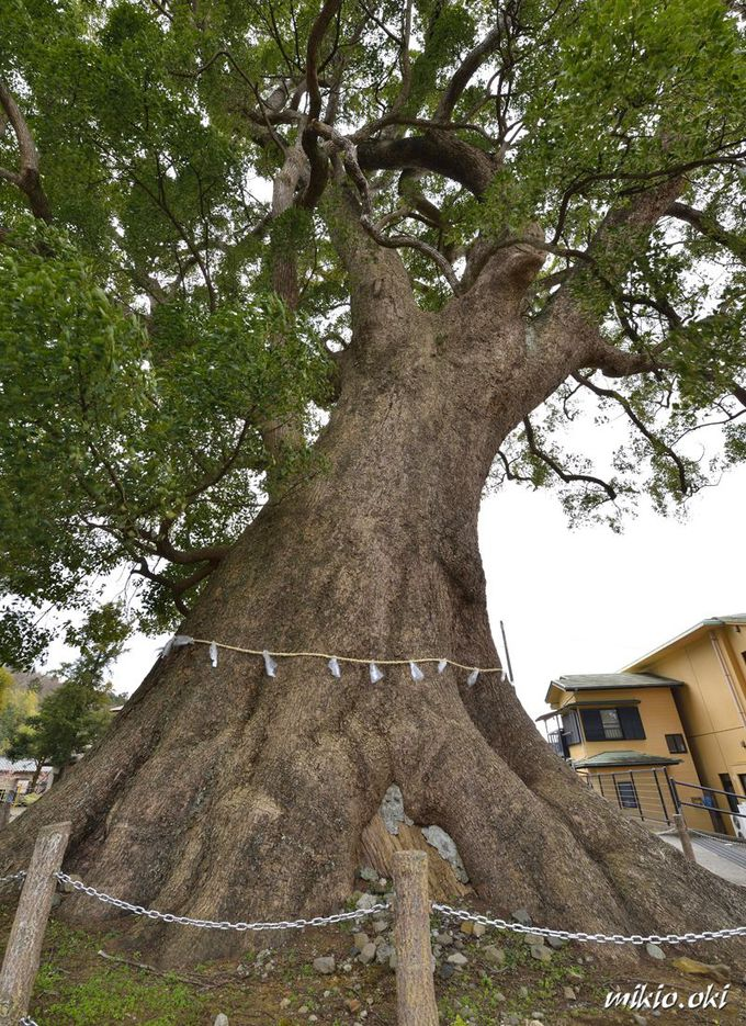 熱海の近隣にある県内有数の巨木・天地神社の大楠