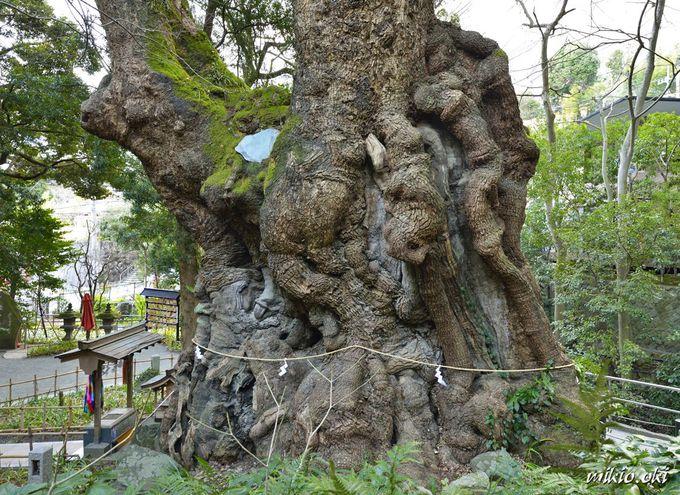神々しい来宮神社の大楠の立姿