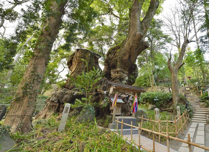 本州で最大の巨木・来宮神社の大楠