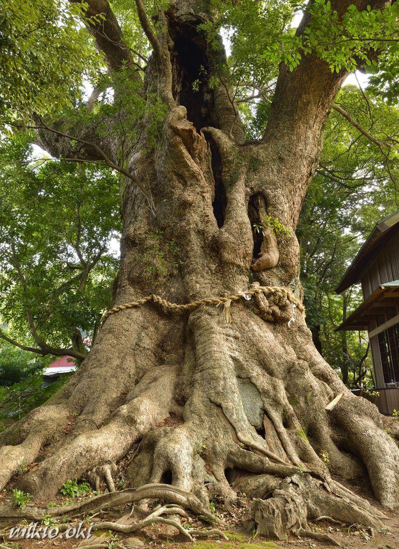伊豆の桜の里に立つ千年樹〜河津・杉桙別命神社の大クス