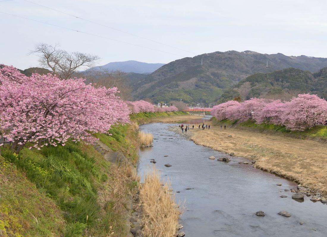 河津桜の原木と桜並木