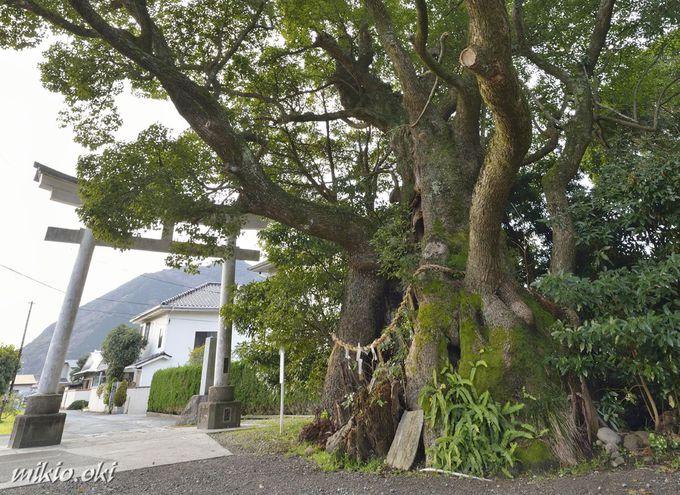 杉桙別命神社の御神木は3本