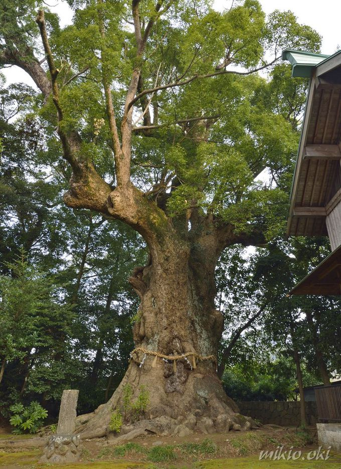 静岡県最大級の巨木・杉桙別命神社の大クス