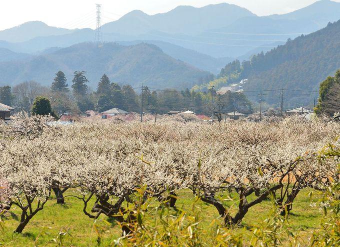 越生梅林・里山を彩る早春の花園