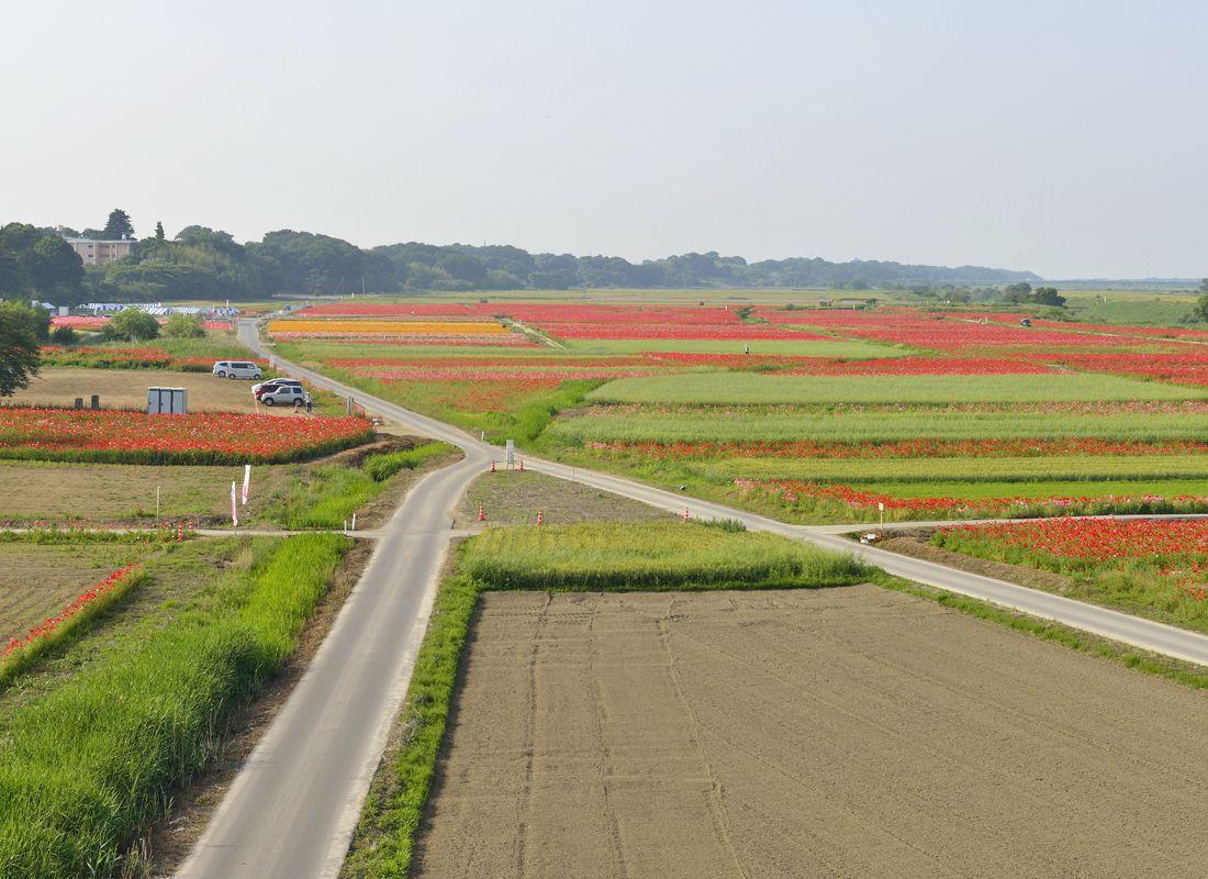 日本一広いポピー畑〜鴻巣のポピー・ハッピースクエア