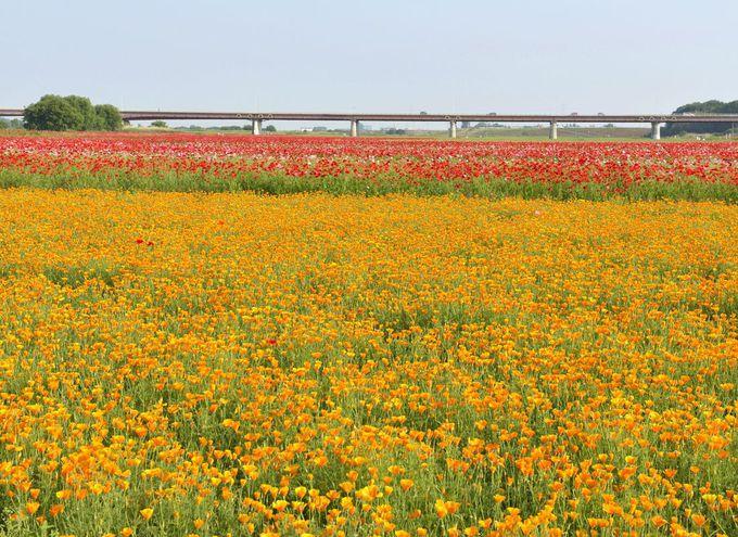 ポピー・ハッピースクエアの多様な色彩の花畑