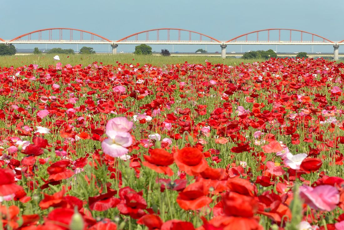 吹上のポピー畑と日本一長い水管橋