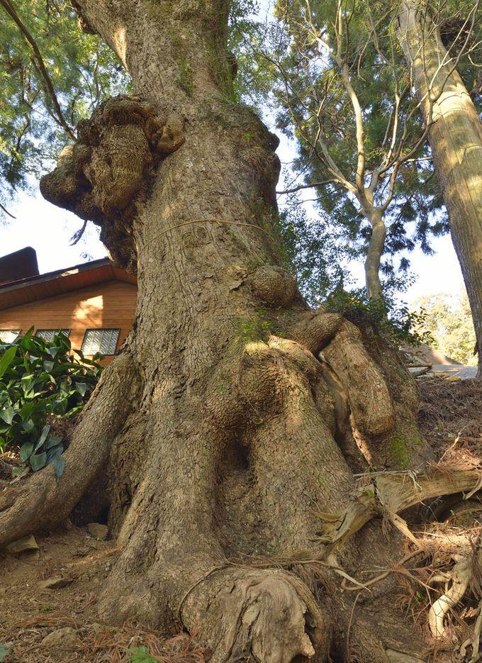 智満寺の伽藍に寄り添う楠の巨樹