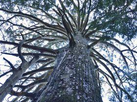 静岡の巨樹茂る神秘の霊場を拝観〜千葉山智満寺の十本杉
