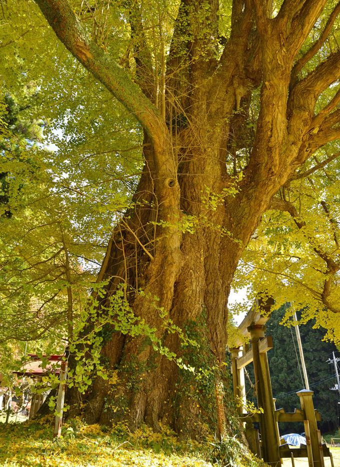 西金砂神社の御神木〜黄葉が美しい大イチョウ