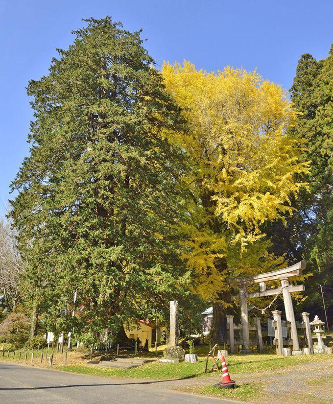 西金砂神社の御神木〜茨城県最大のサワラ