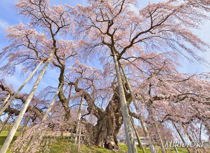 三春滝桜は日本を代表する枝垂桜の巨樹