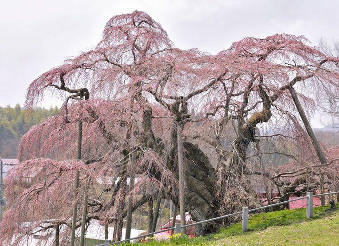 三春滝桜の見頃の時期