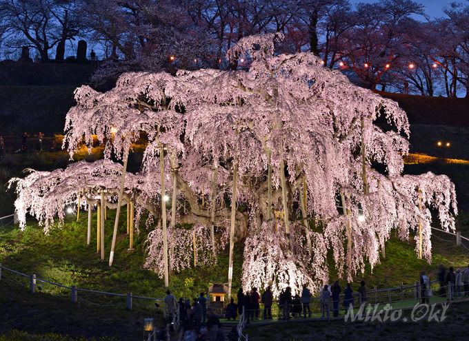 三春滝桜のライトアップ