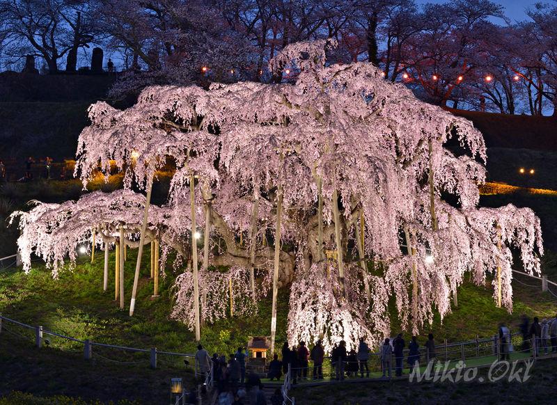 美しき枝垂桜の女王・三春滝桜と特別な春のひとときを