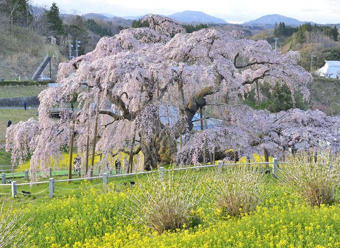 三春滝桜の様々な姿