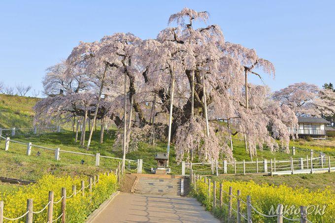 三春滝桜へ続く渋滞の回避
