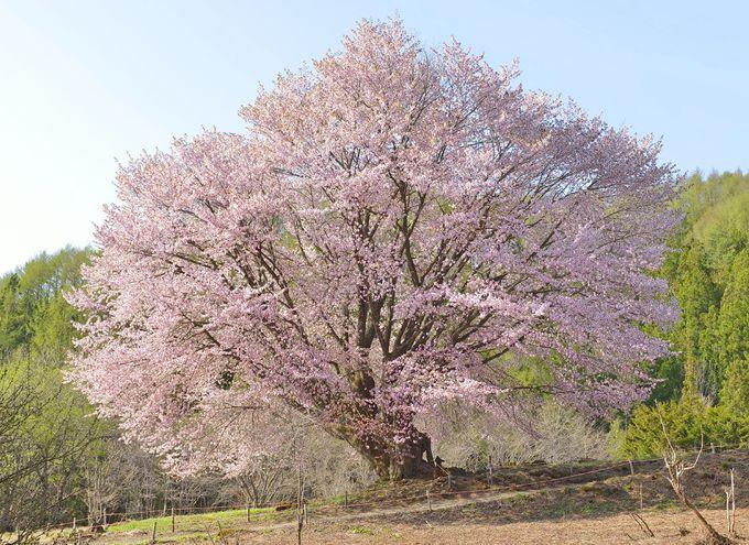 天王桜の優れた立姿と風光明媚な景観