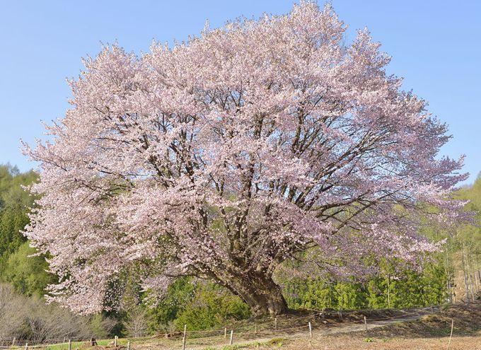 5月の連休は尾瀬の郷の天王桜へ