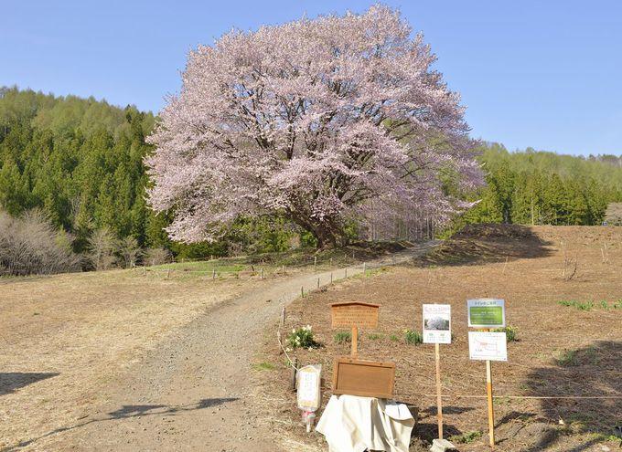 天王桜へのアクセス