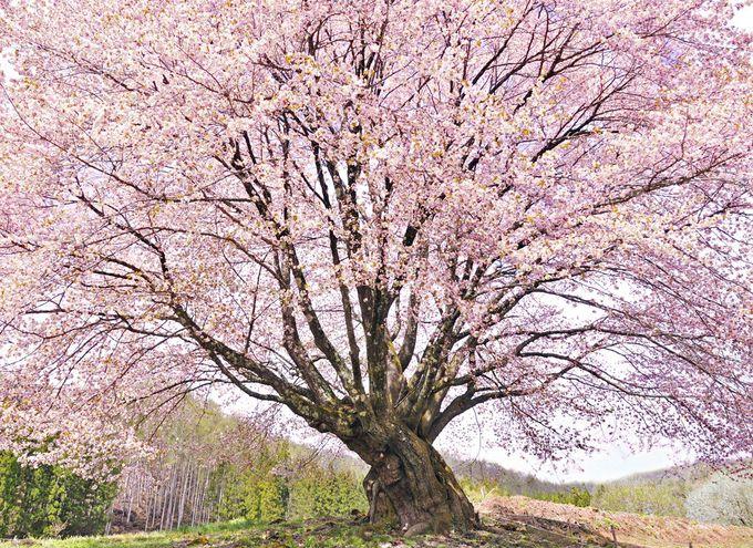 天王桜は国内最大級の美しき大山桜