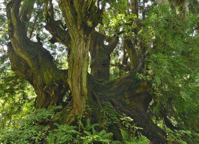 洞杉群〜注目すべき洞杉の巨木たち
