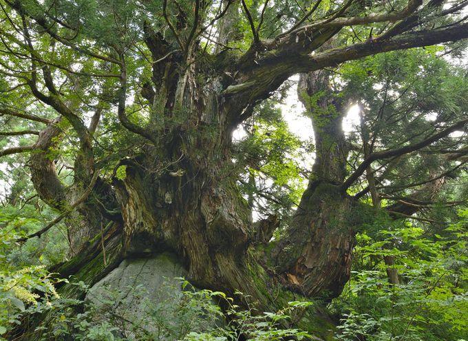 洞杉群〜異形の巨木が生育する神秘の森