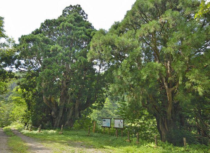 洞杉群〜観察道で巨樹の森を探検