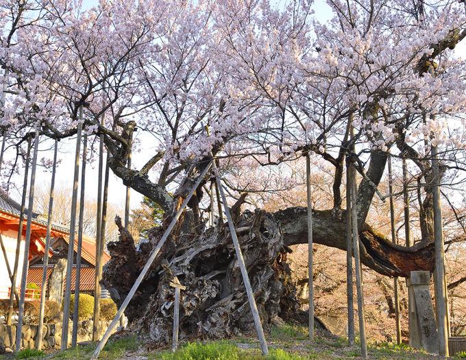 實相寺の山高神代桜は日本最古の大桜