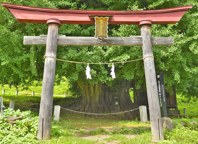 「神戸の大イチョウ」信州随一のイチョウの巨樹