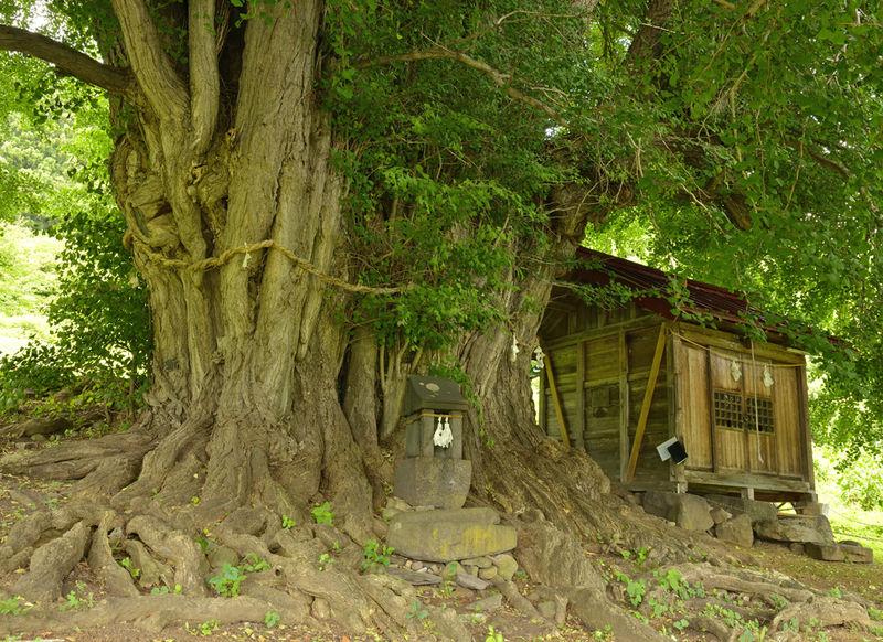 長野・飯山市で巡る癒しの風景〜神戸の大イチョウと福島の棚田