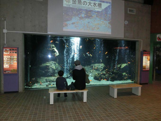 入り口の真正面、金魚の大水槽は圧巻!