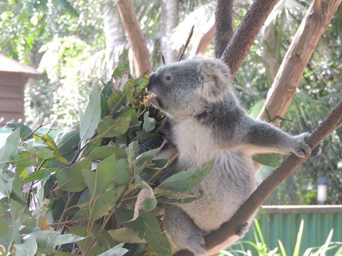 まずはふわふわ〜のコアラを抱っこしよう!