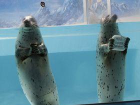 あの五郎丸ポーズができるアザラシに会える!下田海中水族館